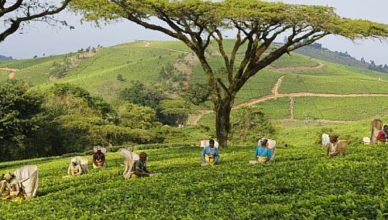 Malawi tea farmers banner