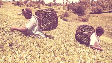 agriculture-in-kenya